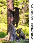 brown bear cub climbs a tree.... | Shutterstock . vector #1204384192
