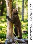 brown bear cub climbs a tree.... | Shutterstock . vector #1204384195