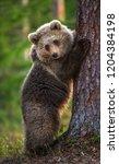 brown bear cub climbs a tree.... | Shutterstock . vector #1204384198