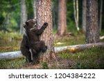 brown bear cub climbs a tree.... | Shutterstock . vector #1204384222