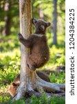 brown bear cub climbs a tree.... | Shutterstock . vector #1204384225