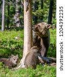 she bear and cubs. brown bear.... | Shutterstock . vector #1204392235