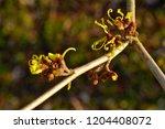 hamamelis or witch hazel in...   Shutterstock . vector #1204408072
