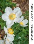 snowdrop anemone  anemone...   Shutterstock . vector #1204452052