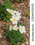 snowdrop anemone  anemone...   Shutterstock . vector #1204452055