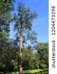 old oak in autumn park ... | Shutterstock . vector #1204473298