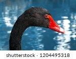 A Black Swan Head Close Up...