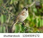 beautiful garden sparrow | Shutterstock . vector #1204509172