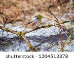 a cute boreal chickadee perched ... | Shutterstock . vector #1204513378