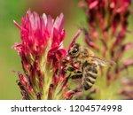 Bee In Crimson Clover ...