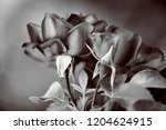 buds of garden roses. black and ... | Shutterstock . vector #1204624915