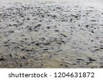many of the fish pond | Shutterstock . vector #1204631872