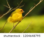 cute small yellow canary on a... | Shutterstock . vector #1204648795