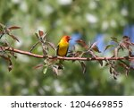 western tanager  male  | Shutterstock . vector #1204669855