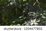 Spider Golden Orb With Big...