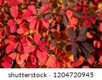 read bright  leaves autumnal... | Shutterstock . vector #1204720945