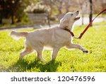Stock photo golden retriever puppy runs 120476596