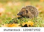 hedgehog  wild  native ... | Shutterstock . vector #1204871932