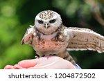 portrait of a burrowing owl ... | Shutterstock . vector #1204872502