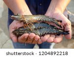 Fisherman Show Live Black Tige...