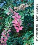 barberry leaves bush. nature... | Shutterstock . vector #1204926598