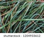fresh grass texture with... | Shutterstock . vector #1204933612
