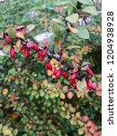 barberry macro photography.... | Shutterstock . vector #1204938928