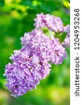 lilac flowers close up | Shutterstock . vector #1204953268