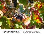 female winemaker is cutting...   Shutterstock . vector #1204978438