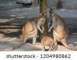 Wallaby Or A Small Kangaroo...