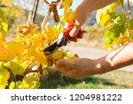 female winemaker is cutting... | Shutterstock . vector #1204981222