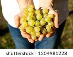 female winemaker is cutting...   Shutterstock . vector #1204981228