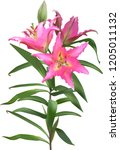 illustration with lily flower... | Shutterstock .eps vector #1205011132