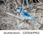 the blue jay is a passerine... | Shutterstock . vector #1205069902