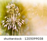 garlic blossom closeup with... | Shutterstock . vector #1205099038