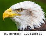 bald eagle  haliaeetus... | Shutterstock . vector #1205105692