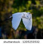 Beautiful White Egret Flies...