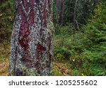 autumn larch tree trunk view.... | Shutterstock . vector #1205255602