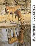 Small photo of Black faced impala Aepyceros melampus petersi