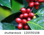 coffee beans ripening on tree... | Shutterstock . vector #120550108