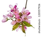 Stock photo branch pink cherry blossom flowers isolated on white 120557926