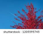vibrant fall color in red... | Shutterstock . vector #1205595745