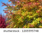 vibrant fall color  red  yellow ... | Shutterstock . vector #1205595748