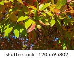 vibrant fall color as a nature... | Shutterstock . vector #1205595802