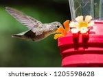 rufous hummingbird arriving at...   Shutterstock . vector #1205598628