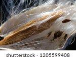 milkweed seeds and fibers...   Shutterstock . vector #1205599408