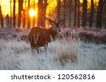 red deer in morning sun. | Shutterstock . vector #120562816