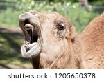 This Is A Close Up Of A Camel...