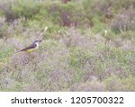 western yellow wagtail | Shutterstock . vector #1205700322