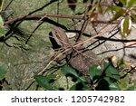 sydney australia  lizard... | Shutterstock . vector #1205742982